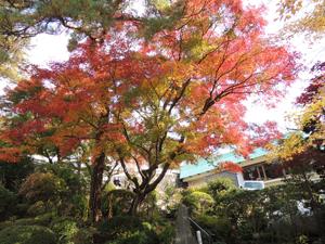 澤乃井園 紅葉情報 撮影日2012年11月22日