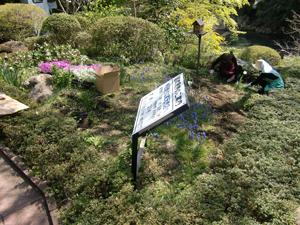 澤乃井園のシバザクラ