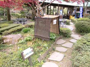 澤乃井園 『クマガイソウ』