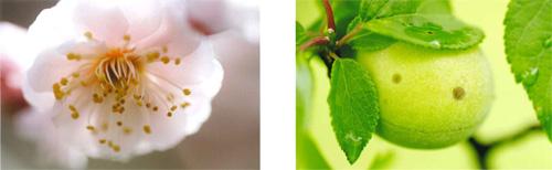 梅のお花実写真展