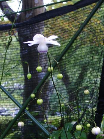 澤乃井園のレンゲショウマ