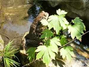 澤乃井園のヒキガエル