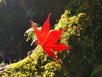 澤乃井園紅葉